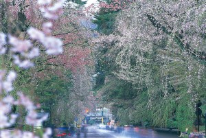 The cherry blossom season is very busy in Kakunodate. ©Akita Prefecture/©JNTO