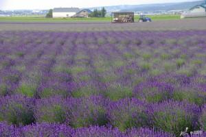 Farm Tomita lavender field is one of the most popular spot in Furano.  ©Yasufumi Nishi/© JNTO